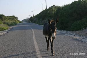Travel Karpaz Peninsula Cyprus Donkey walking down the road